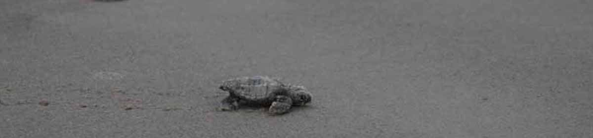 Caswell Beach Turtle Watch