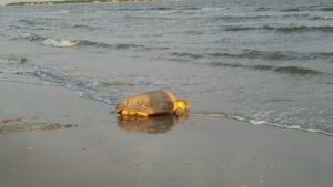 Loggerhead returning to the ocean after laying nest on June 29, 2016