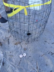 Nest #14 had crab hole & 2 eggs removed this morning.